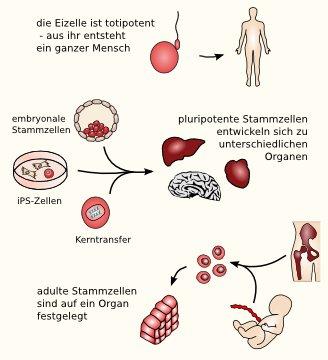 Adulte und embryonale stammzellen